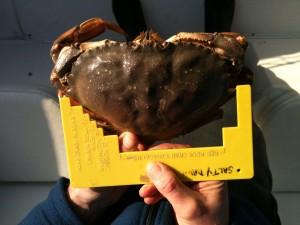 A big Vancouver crab!