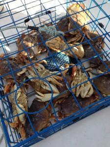 crabs dude