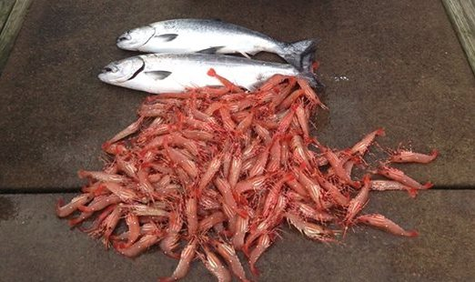 Winter Chinook and BC spot prawns Vancouver Fishing Saltwater