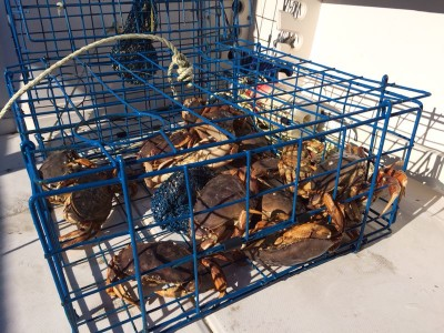 A great haul of Dungeness Crab