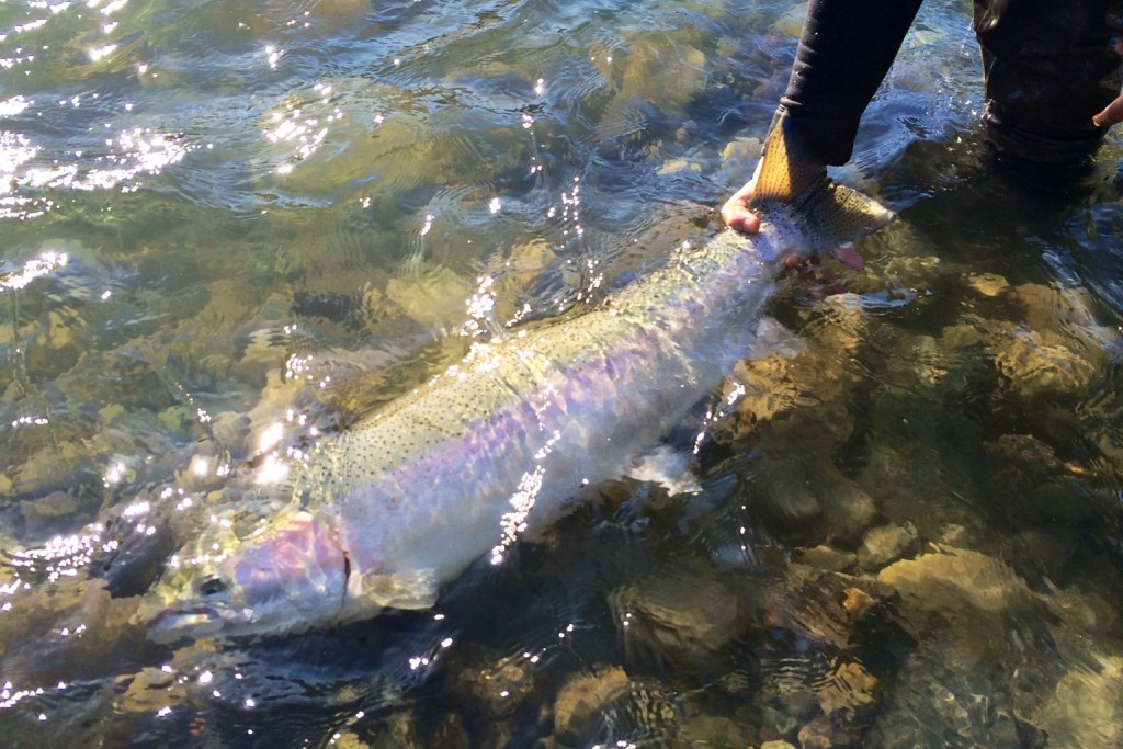 A nice winter steelhead from the Vedder.