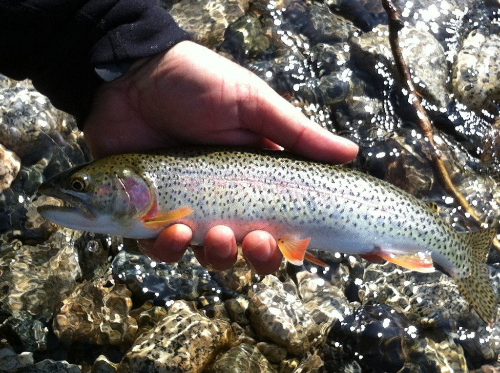 A sought after Fraser Valley Cutthroat.