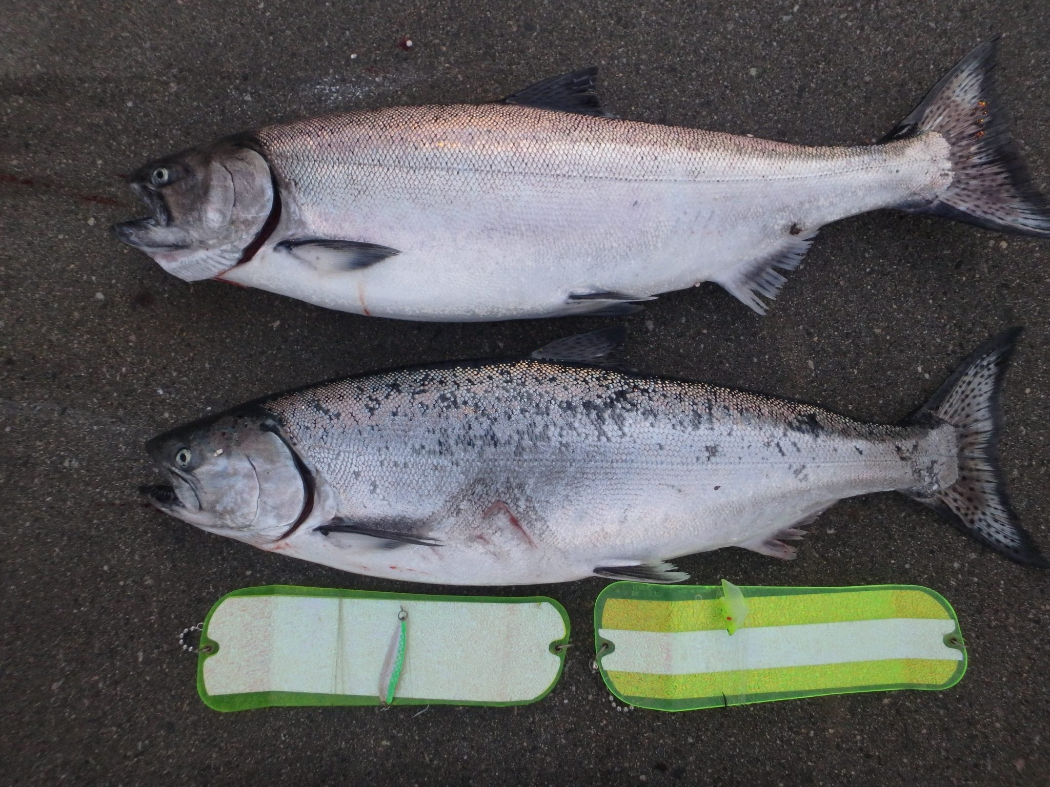 A couple of nice winter chinook from this week.