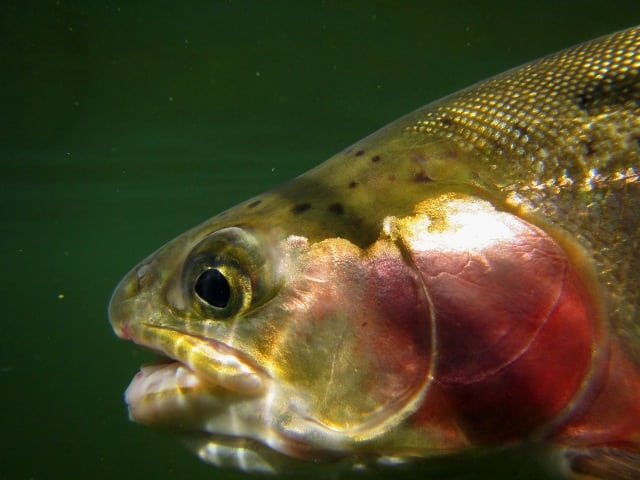 Rainbow Trout Headshot