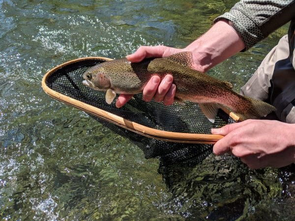 Skagit_River_Rainbow_Trout